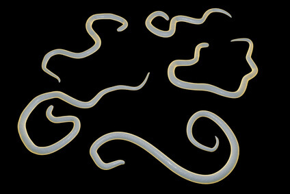 Puppy worms. Roundworms.