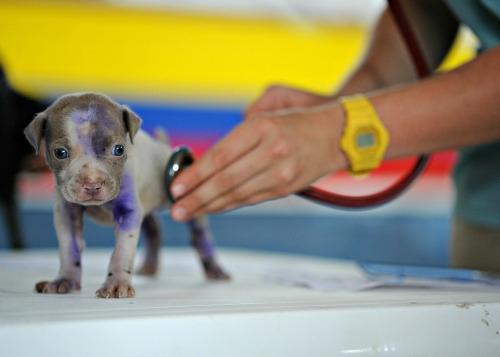 Pitbull puppy and veterinarian