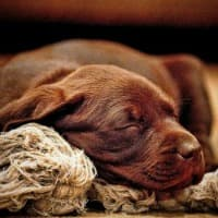 Puppy sleeping with rope bone toy